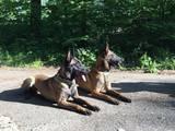 Собаки, щенки Бельгийская овчарка (Малинуа), цена 10000 Грн., Фото