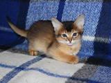 Кішки, кошенята Сомалі, ціна 7500 Грн., Фото
