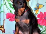 Собаки, щенки Карликовый пинчер, цена 7500 Грн., Фото