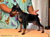 Собаки, щенята Карликовий пінчер, ціна 7500 Грн., Фото
