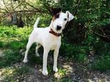 Собаки, щенята Гладкошерста фокстер'єр, ціна 3700 Грн., Фото