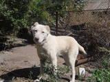 Собаки, щенята Австралійська вівчарка, ціна 1000 Грн., Фото