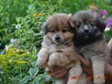 Собаки, щенята Карликовий шпіц, ціна 1500 Грн., Фото