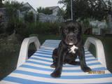 Собаки, щенки Кане Корсо, цена 4500 Грн., Фото