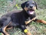 Собаки, щенята Ротвейлер, ціна 2000 Грн., Фото