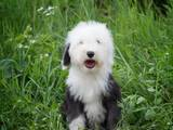 Собаки, щенята Бобтейль, ціна 14000 Грн., Фото