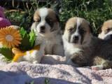 Собаки, щенки Вельш корги пемброк, цена 22000 Грн., Фото