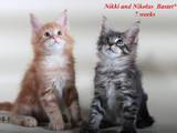 Кішки, кошенята Мейн-кун, ціна 15000 Грн., Фото