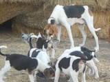 Собаки, щенки Баварская гончая, цена 500 Грн., Фото