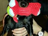 Собаки, щенята Гладкошерста такса, ціна 1500 Грн., Фото