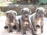 Собаки, щенки Немецкий дог, цена 8000 Грн., Фото