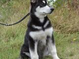 Собаки, щенки Аляскинский маламут, цена 10000 Грн., Фото