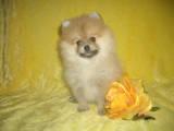 Собаки, щенки Карликовый шпиц, цена 18000 Грн., Фото