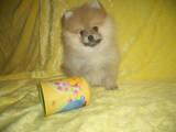 Собаки, щенята Карликовий шпіц, ціна 18000 Грн., Фото