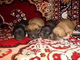 Собаки, щенята Американський стаффордширський тер'єр, ціна 1100 Грн., Фото