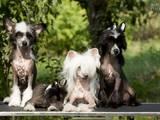 Собаки, щенки Китайская хохлатая собака, цена 3000 Грн., Фото