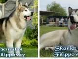 Собаки, щенята Аляска маламут, ціна 15000 Грн., Фото