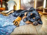 Собаки, щенки Пинчер, цена 10000 Грн., Фото