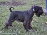Собаки, щенки Цвергшнауцер, цена 4000 Грн., Фото