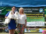 Собаки, щенки Мальтийская болонка, цена 25000 Грн., Фото