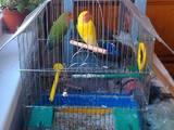 Папуги й птахи Папуги, ціна 500 Грн., Фото