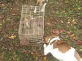 Собаки, щенята Ірландський тер'єр, ціна 1500 Грн., Фото