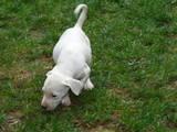 Собаки, щенки Аргентинский дог, цена 9000 Грн., Фото