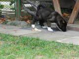 Собаки, щенки Американский акита, цена 9500 Грн., Фото