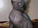 Кошки, котята Канадский сфинкс, цена 2800 Грн., Фото