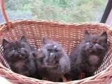 Кошки, котята Невская маскарадная, цена 50 Грн., Фото
