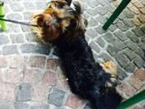 Собаки, щенки Йоркширский терьер, Фото
