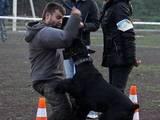 Собаки, щенята Різеншнауцер, ціна 7000 Грн., Фото