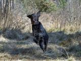 Собаки, щенята Німецька жорсткошерста лягава, ціна 7 Грн., Фото