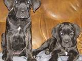 Собаки, щенки Кане Корсо, цена 4000 Грн., Фото