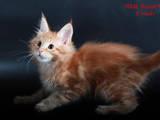 Кошки, котята Мэйн-кун, цена 13000 Грн., Фото