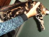 Кошки, котята Мэйн-кун, цена 12000 Грн., Фото