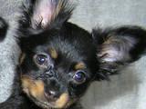 Собаки, щенки Русский длинношерстный тойтерьер, цена 6000 Грн., Фото