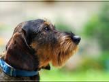 Собаки, щенки Жесткошерстная такса, Фото