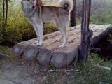 Собаки, щенята Східно-сибірська лайка, ціна 1800 Грн., Фото