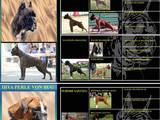 Собаки, щенята Боксер, ціна 12000 Грн., Фото