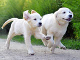 Собаки, щенки Золотистый ретривер, цена 5000 Грн., Фото