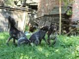 Собаки, щенята Німецька гладкошерста лягава, ціна 2700 Грн., Фото