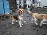 Собаки, щенята Бігль, ціна 8000 Грн., Фото