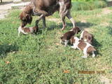 Собаки, щенки Немецкая гладкошерстная легавая, Фото