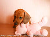 Собаки, щенки Гладкошерстная такса, цена 6500 Грн., Фото