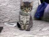 Кішки, кошенята Безпорідна, ціна 50 Грн., Фото