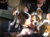 Собаки, щенки Бигль, цена 11500 Грн., Фото