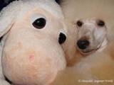 Собаки, щенки Карликовый пудель, цена 2500 Грн., Фото
