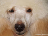 Собаки, щенята Карликовий пудель, ціна 2500 Грн., Фото