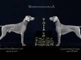 Собаки, щенки Веймарская легавая, цена 17000 Грн., Фото
